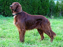 250px-Can_Setter_dog_GFDL
